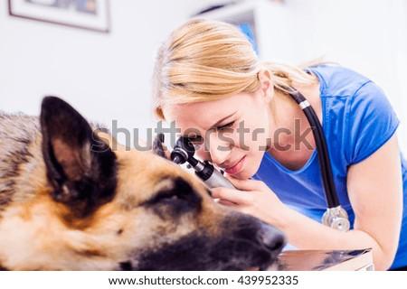 Veterinarian examining German Shepherd dog with sore ear. - stock photo