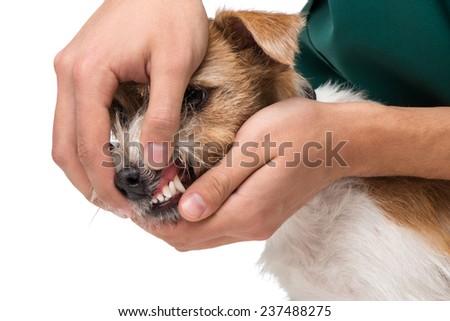 Veterinarian examining little terrier teeth - stock photo