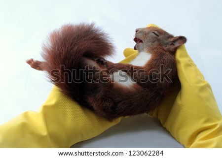 Veterinarian examining red squirrel, Sciurus vulgaris,
