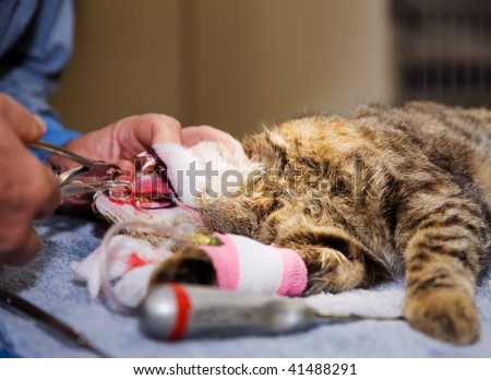 Veterinarian extracting tooth from a small pet cat - stock photo