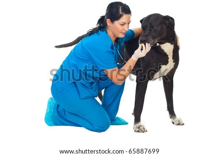 Veterinarian giving a pill to a great dane dog isolated on white background - stock photo