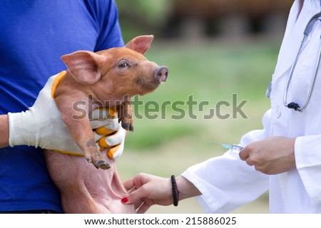 Veterinarian giving injection to piglet on farm - stock photo