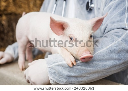 Veterinarian holding a pig. - stock photo