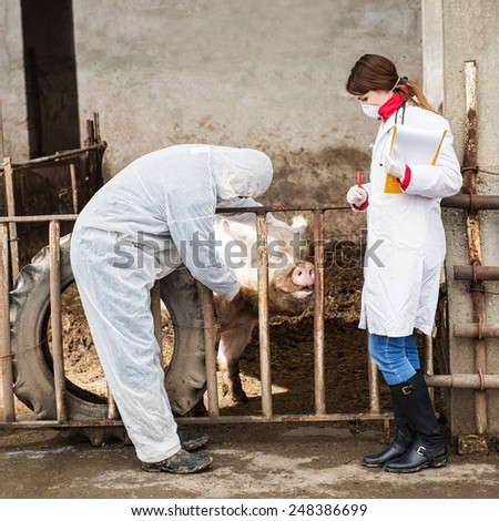 Veterinarian inspects a pig while a nurse awaiting instructions.