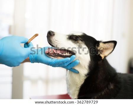 Veterinarian is examining a cute siberian husky at hospital.Under exposured photo - stock photo