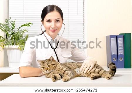 Veterinarian listens stethoscope cat breed Scottish Straight - stock photo