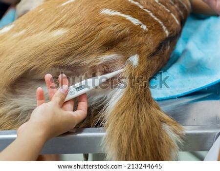 veterinarian measuring nyala temperature in hospital - stock photo