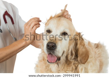 Veterinarian performing a cleaning ears of a Golden Retriever in the clinic