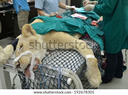 Veterinarian performing an operation on a lion in the operating room - stock photo