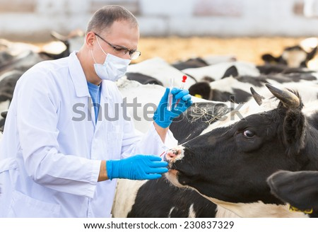 Veterinarian  physical examination of  animal on  farm cattle - stock photo