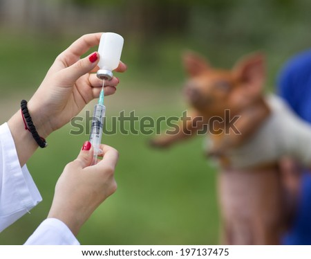 Veterinarian preparing injection to piglet on farm - stock photo