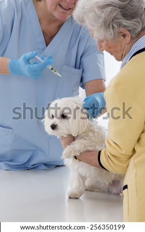 veterinarian proceed vaccination of a little dog