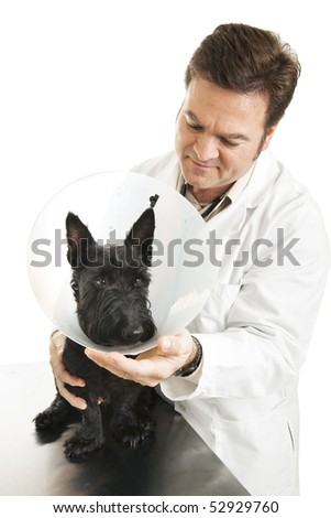 Veterinarian putting an Elizabethan protective collar on a dog.  Isolated on white.