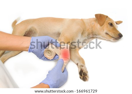 veterinarian's hands wrapping a bandage on the  puppy's leg - stock photo