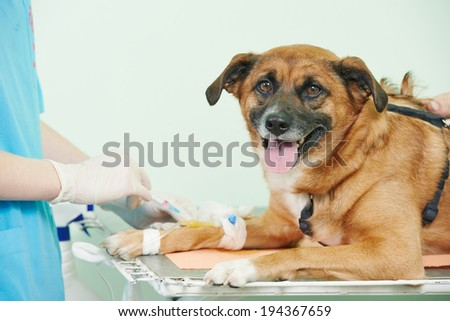 veterinarian surgeon worker making medical examination blood test of dog in veterinary surgery clinic - stock photo