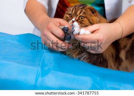 Veterinarian trimming claws of a young cat - stock photo