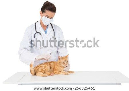 Veterinarian with surgical mask examining a cat on white background - stock photo