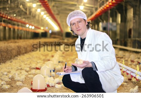 Veterinarian works in chicken farm, controls baby chicken - stock photo
