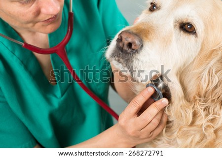 Veterinary by listening to a Golden Retriever dog in his clinic - stock photo
