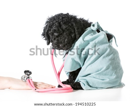 veterinary care - barbet puppy dressed like veterinarian helping person - stock photo