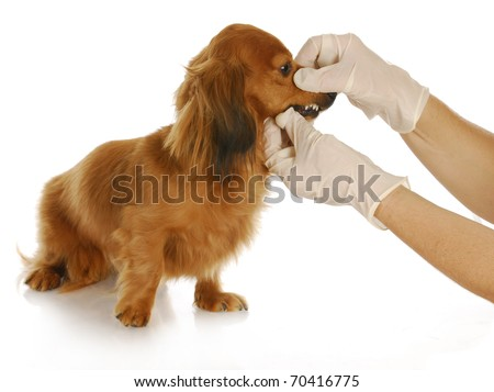 veterinary care - dachshund being examined by veterinarian on white background - stock photo