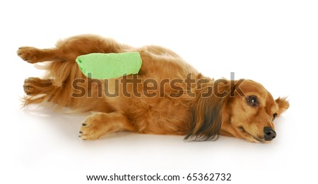 veterinary care - dachshund with a wounded paw with reflection on white background