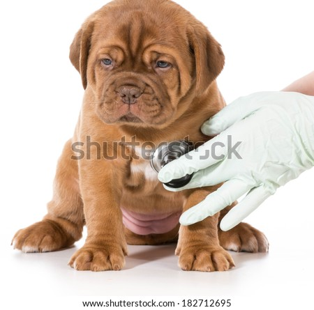 veterinary care - dogue de bordeaux being examined by veterinarian isolated on white background