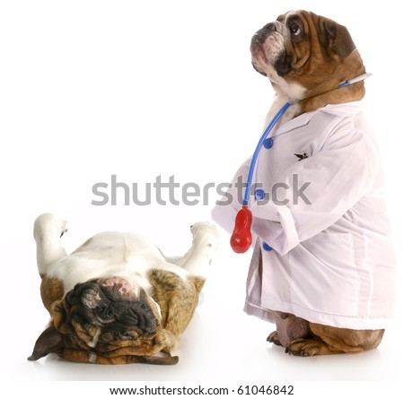 veterinary care - english bulldog dressed up like a veterinarian giving check-up to another dog - stock photo