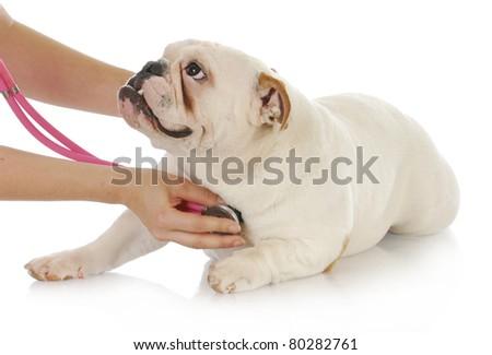 veterinary care - english bulldog having heart examined with stethoscope on white background - stock photo