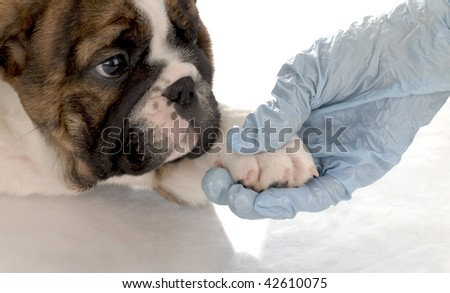 veterinary care - english bulldog puppy with paw being held by gloved hand - stock photo