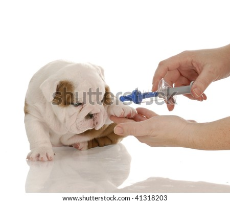 veterinary care - english bulldog puppy with toy needle - stock photo