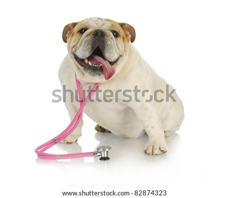 veterinary care - english bulldog wearing pink stethoscope on white background - stock photo