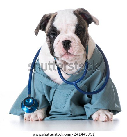 veterinary care - english bulldog wearing stethoscope on white background - stock photo