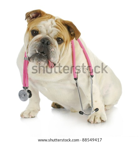 veterinary care - english bulldog with stethoscope around neck looking at viewer - stock photo