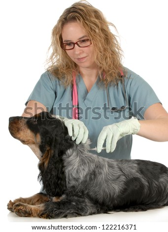 veterinary care - english cocker spaniel being microchipped by a veterinarian isolated on white background - stock photo