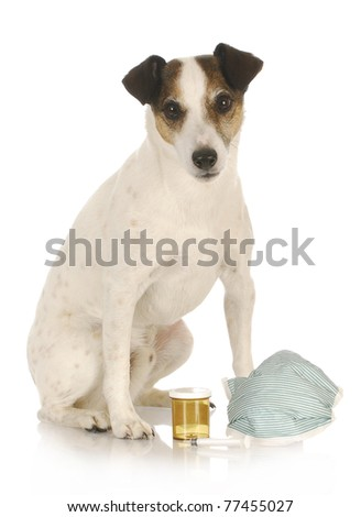 veterinary care - jack russel terrier sitting with medical supplies - stock photo