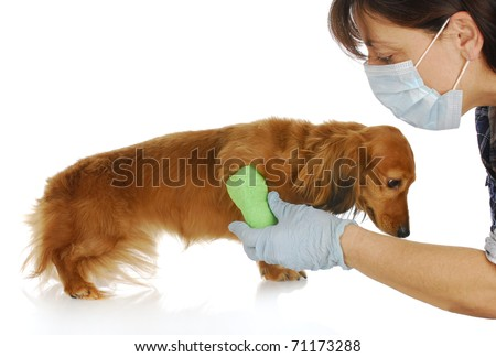 veterinary care - miniature dachshund being examined by veterinarian on white background - stock photo