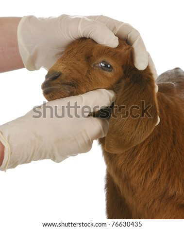 veterinary care - veterinarian examining young goat on white background - stock photo