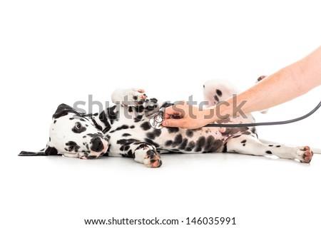 Veterinary examination of Dalmatian dog lying on back - stock photo