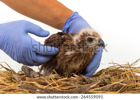 Veterinary holding young Sea-eagle prepare to examination - stock photo
