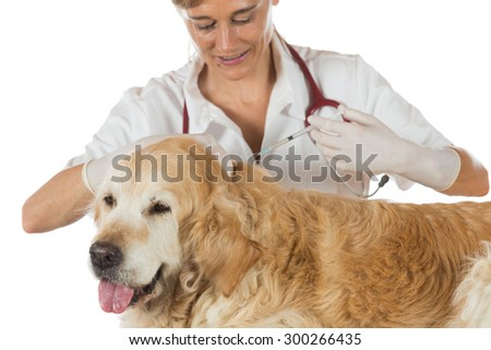 Veterinary injecting a vaccine to a dog Golden Retriever