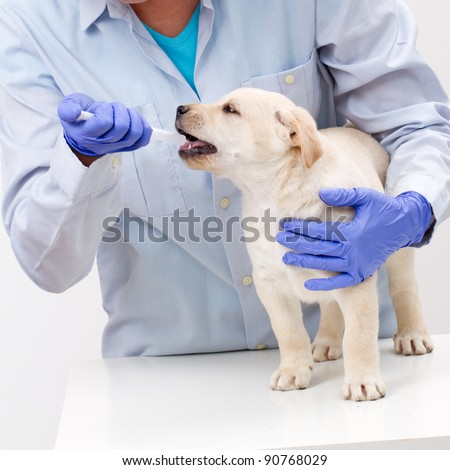 Veterinary is giving the medicine to the puppy of the labrador - stock photo