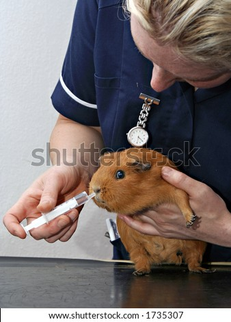 Veterinary Nurse holding and feeding Guineapig through a syringe - stock photo