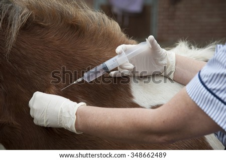 Veterinary nurse treating a Skewball pony Injecting with a large syringe - stock photo