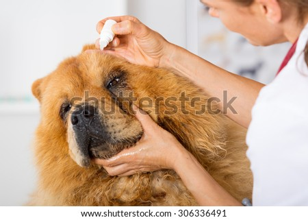 Veterinary placing a few drops of eye drops dog Chow Chow - stock photo