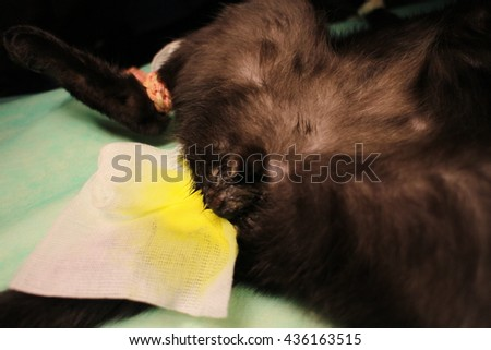 Veterinary surgery - castration of tomcat - stock photo