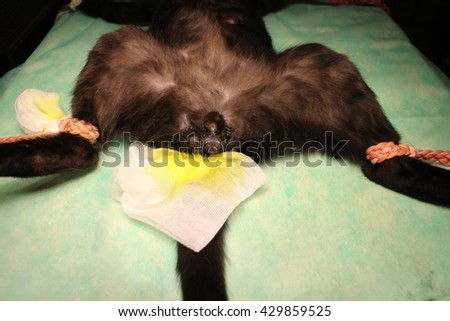 Veterinary surgery - neutering of tomcat - stock photo