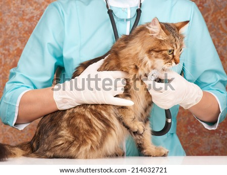 Veterinary survey with stethoscope of cute adult siberian cat - stock photo
