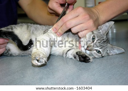 veterinary technician removing cast from kitten