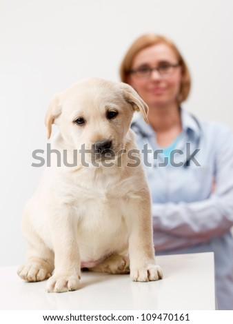 Veterinary treatment - lovely labrador puppy and friendly veterinary - stock photo